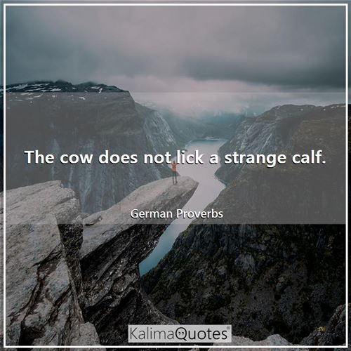The cow does not lick a strange calf.